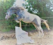 Pony Welsh A Stute 2