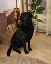 Deckrüde reinrassiger Labrador Schwarz