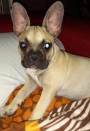 Französische Bulldoge will mich niemand