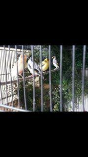 3 Sehr Schön Große kanarienvögel