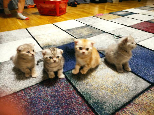 BKH SF katzenbabys Kätzchen Katze