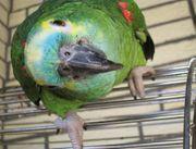 Ich Suche Amazone Papagei