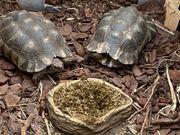 griechisches Landschildkröten Pärchen