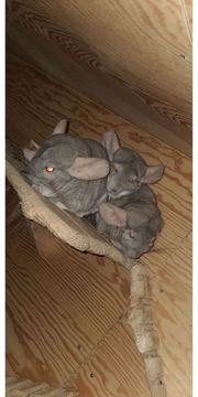 3 Chinchillas