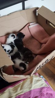 verkaufe süsse baby katzen