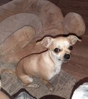 Chihuahua Hündin 2 Jahre alt