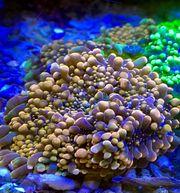 Meerwasser Koralle Ricordea yuma Godzilla