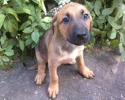 Ein Schäferhund-Dobermann Mischling sucht Liebevolles