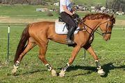 Reitbeteiligung auf superbravem Sportpferd Verkaufspferde