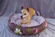 Chihuahua Mix Rüde