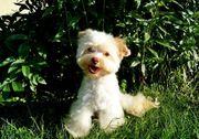 Biro Yorkshire Terrier Rüde