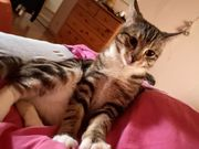 Junge Kittenkatze