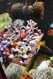 Korallen Ableger xxl abzugeben sps