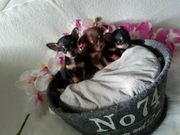 2 Chihuahua Welpen