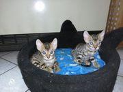Kitten Babykatzen Katzenbabys Bengal