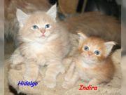 Maine Coon Kitten Duo - in