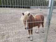 Pferd Pony Hengst Welsh A