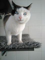 wunderschöne blaue Augen Kater Mau