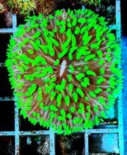 LPS-Koralle SPS-KORALLEN