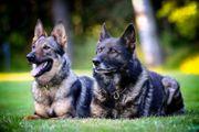Wurfmeldung Deutsche Schäferhunde aus Leistungszucht