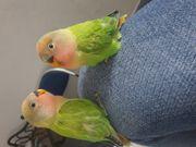 pfirsichkoepfchen Handerzogene Papageien ohne DNA