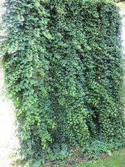 Efeu Efeuranken Echtpflanzen zur Dekoration