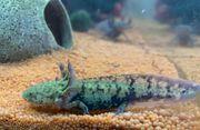 Axolotl BD frei zu verkaufen