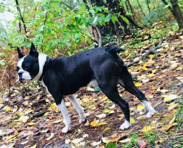 Deckrüde Boston Terrier