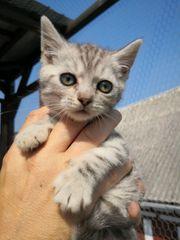 Britisch Kurzhaar- Bengal Mix Kitten