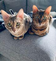 Bengalpärchen
