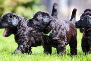 Schwarze Russische Terrier Welpen