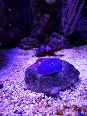- Scheibenanemone blau lila 1 auf