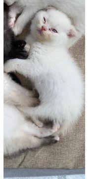 bkh scottishfold kitten red point