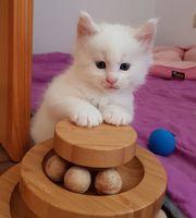 Maine Coon Kitten Kater mit