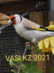 Stieglitz Major in Achat 2020