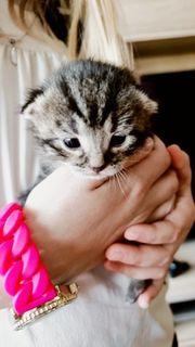 MainCoon Mix Kitten