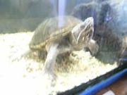 Moschusschildkröten suchen neues zu Hause