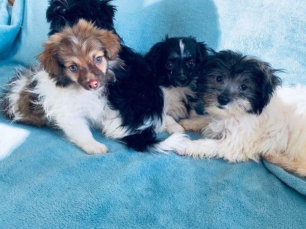 Reinrassige Havaneser Welpen In Bad Wildbad Hunde Kaufen Und Verkaufen Uber Private Kleinanzeigen
