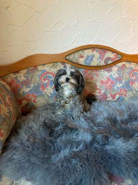 Hunde - Bolonka Swetna Deckrüde
