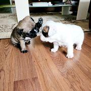 Französische Bulldoggen suchen ein neues
