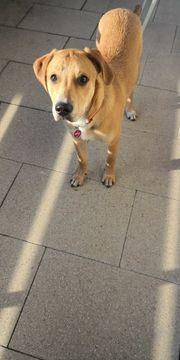 verspielter Labrador-MISCHLING 11 monate alt