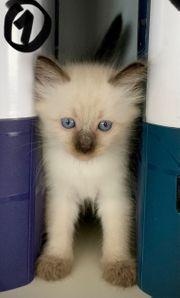 Kitten Katze Thai Siam