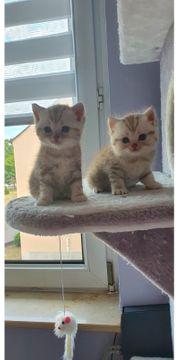 BKH Kitten reinrassig und mit