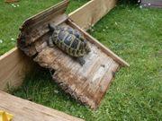 Griechische LandSchildkröte 13 Jahre junges