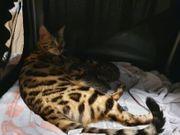 Wunderschöne Bengal - Mai - Kätzchen suchen