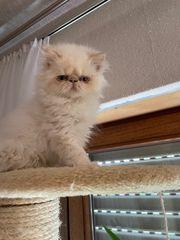 Himalaya Babykatze