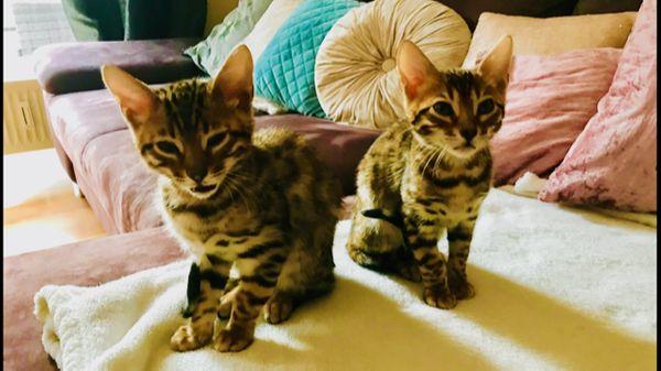 Bengal Katzen Parchen Spottet Tabby 7 Monate Alt In Hamburg Kaufen Und Verkaufen Uber Private Kleinanzeigen