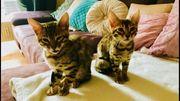 Bengal Katzen Pärchen spottet tabby