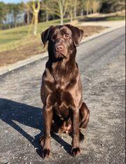 Wurfankündigung Labradorwelpen