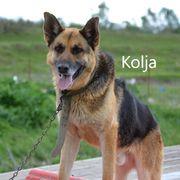 Kolja geb 2015 Schäferhund sucht